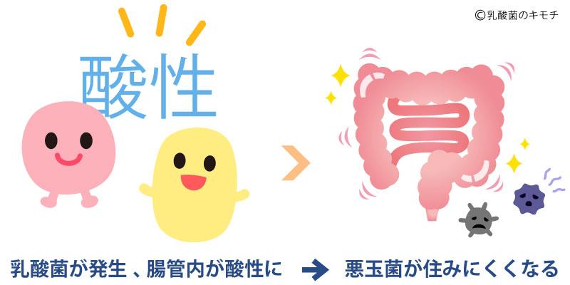 乳酸菌が発生、腸内を酸性に。悪玉菌が生息しにくくなる